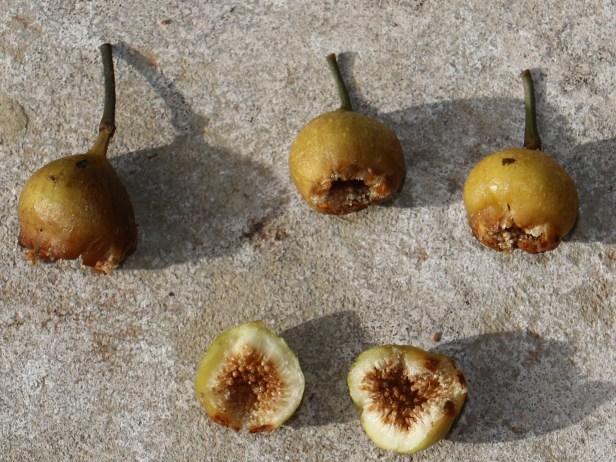 Ficus lumutana IMG_0781 - .JPG