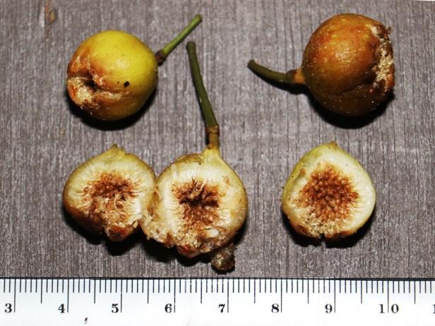 Ficus lumutana ripe male figs IMG_0797 - Copy.JPG