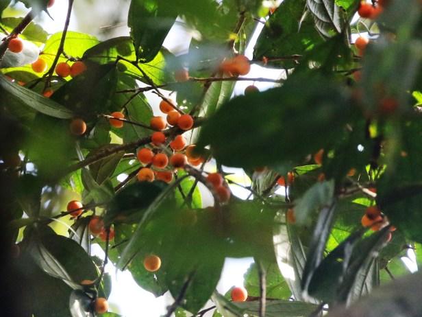 Ficus parietalis Kuala Biang 0C7A3817 - Copy