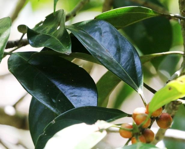 Ficus pisocarpa 0C7A3728.JPG