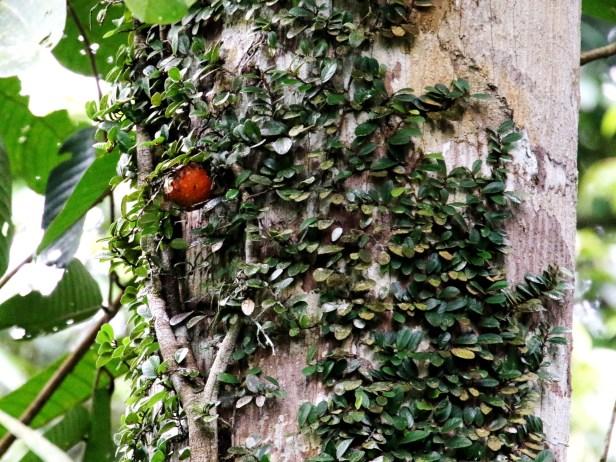 Ficus punctata 3Y3A0929.JPG