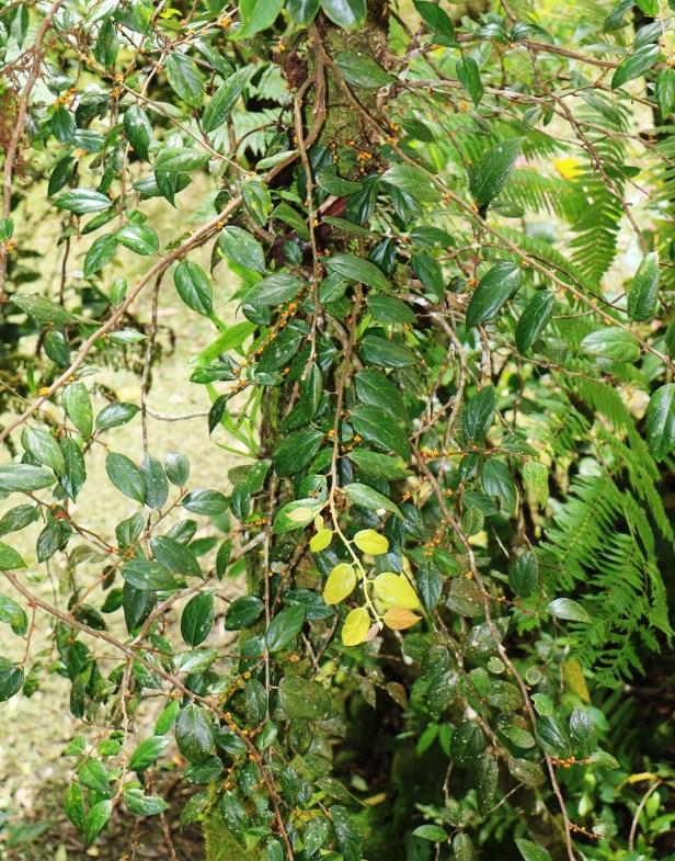 Ficus recurva IMG_0509.JPG