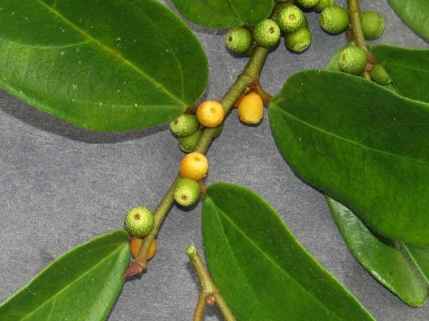 Ficus recurva IMG_1343 - Copy.JPG