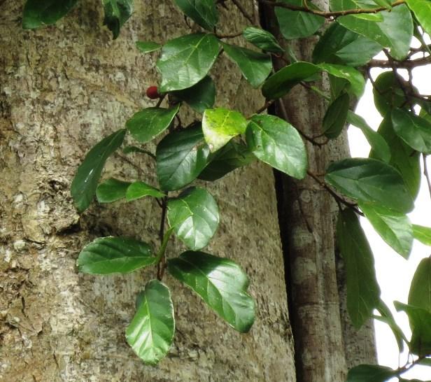 Ficus trichocarpa IMG_8590.JPG