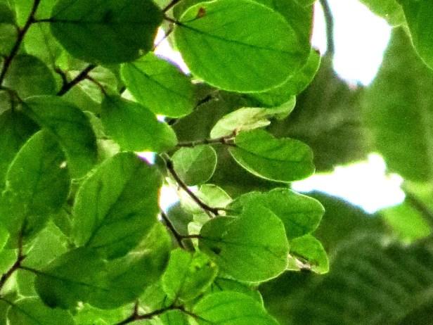 Ficus trichocarpa MG_0019 - Copy.JPG