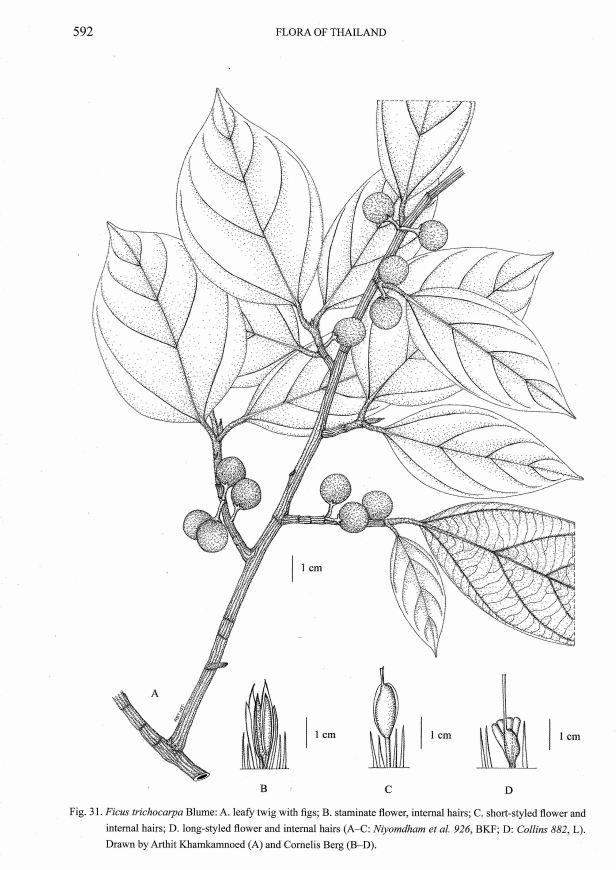Ficus trichocarpa