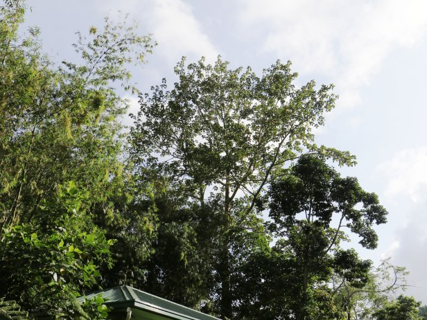 Ficus variegata 3Y3A2650.JPG