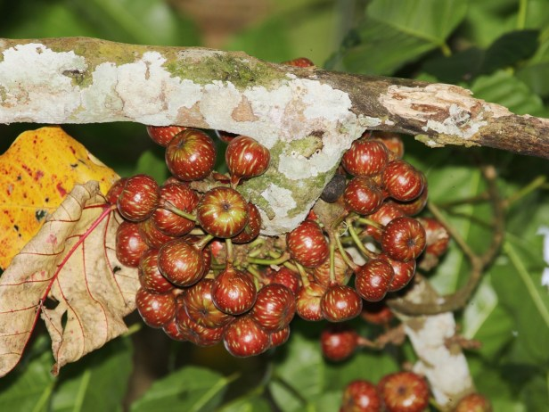 Ficus variegata 3Y3A2667.JPG