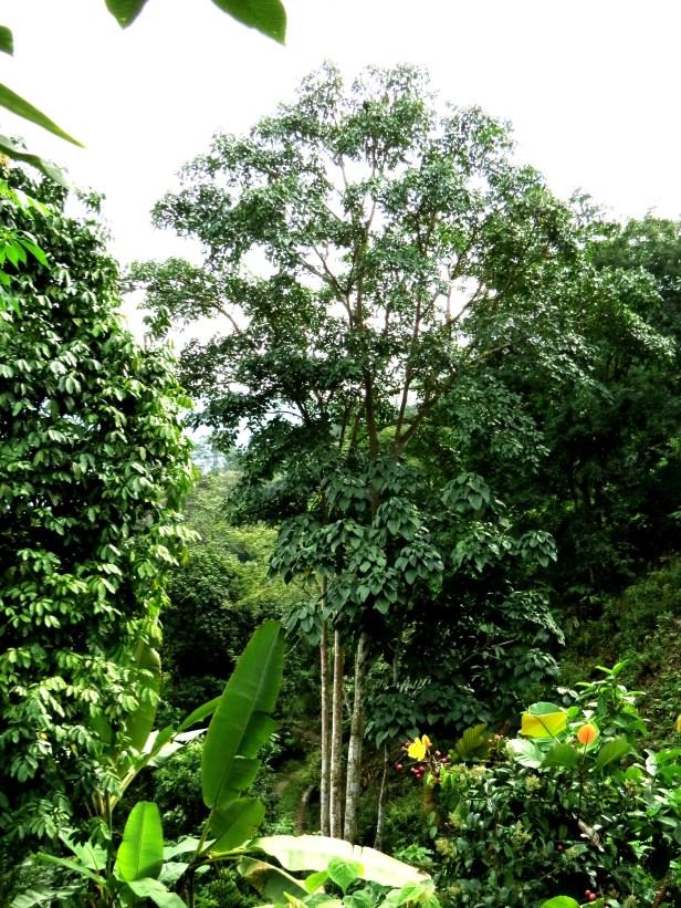 Ficus variegata IMG_0051 - Copy