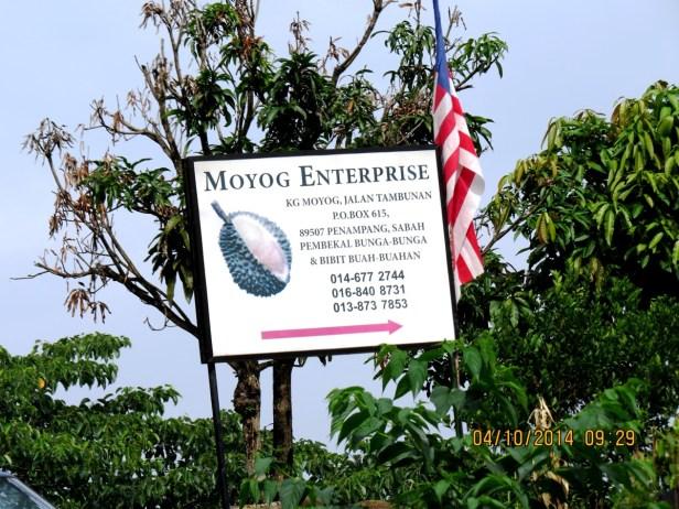 Ficus variegata IMG_0060.JPG