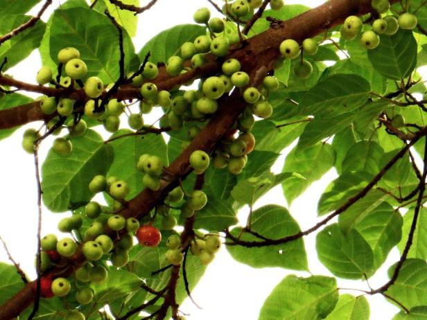 Ficus variegata IMG_0256.JPG