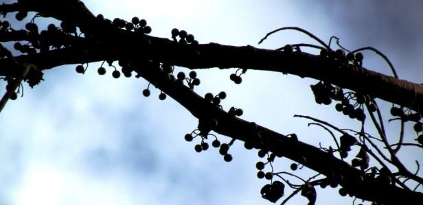 Ficus variegataIMG_4959
