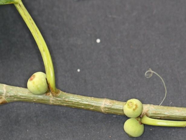 Ficus virens 3Y3A0574.JPG