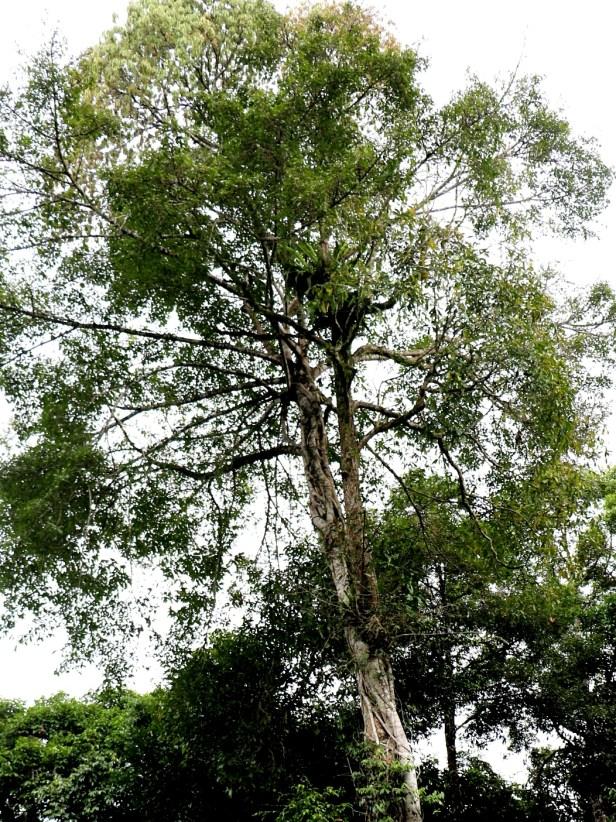 Ficus virens Maliau 3Y3A1457 - Copy
