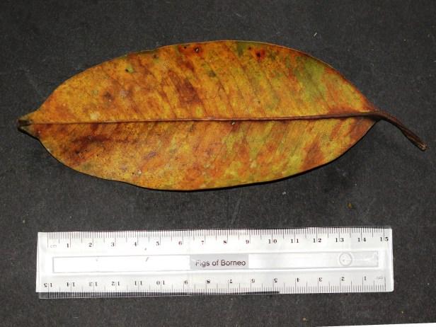 Pellucidopunctata 3Y3A1316 - Copy