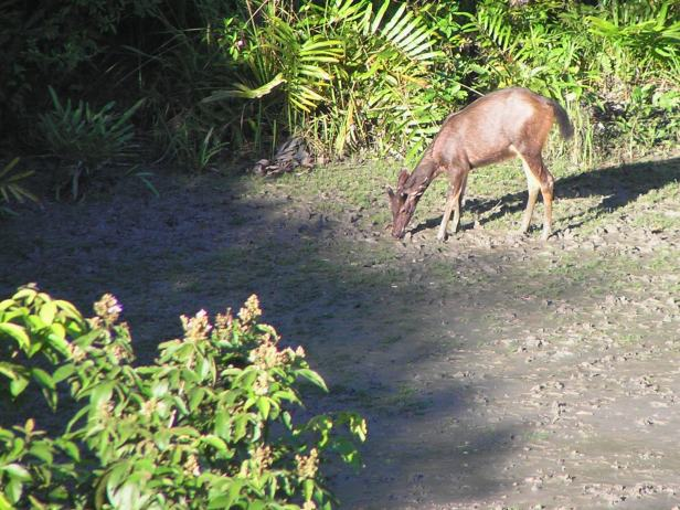 Tabin Sambar deer PC170177.JPG