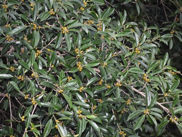 7_Ficus subgelderi Moraceae_Ficus 7_DSC_1443.JPG
