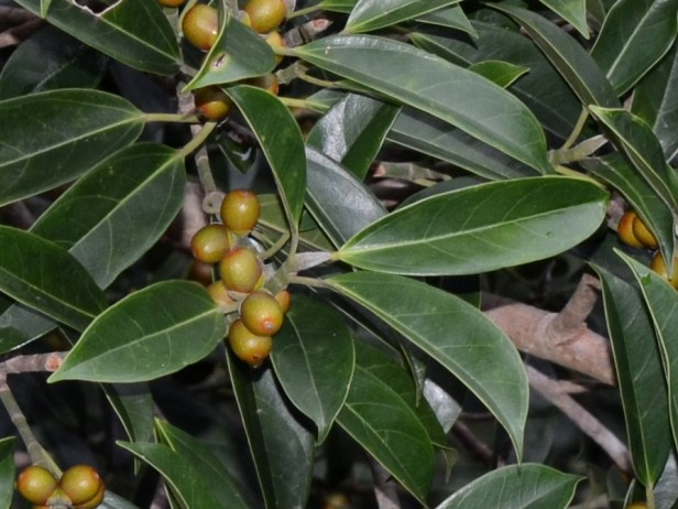 7_Moraceae_Ficus 7_DSC_1443.JPG