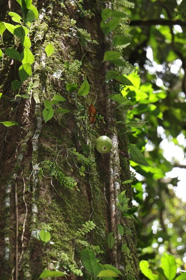 Ficus grandiflora 3P7A9939