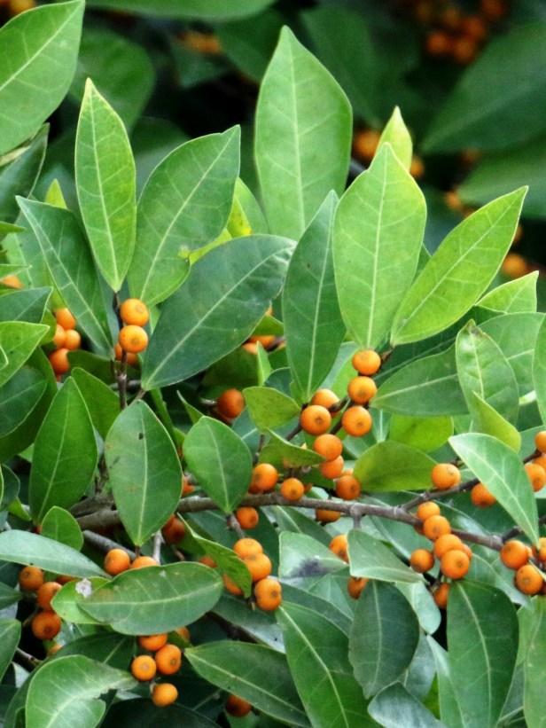 Ficus heterpleura 3P7A8773.JPG