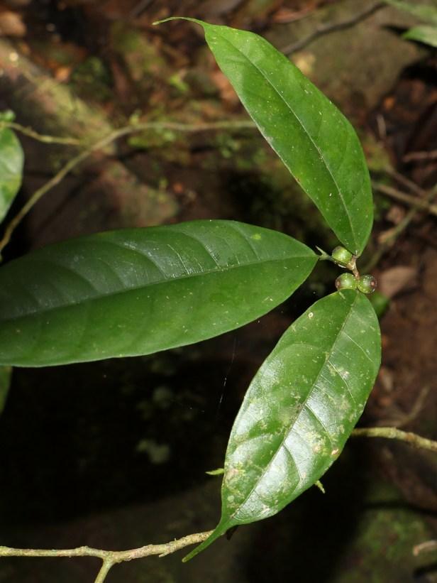 Ficus sinuata 3P7A9960.JPG