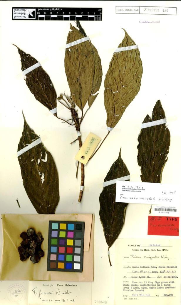 Ficus albomaculata Mulu