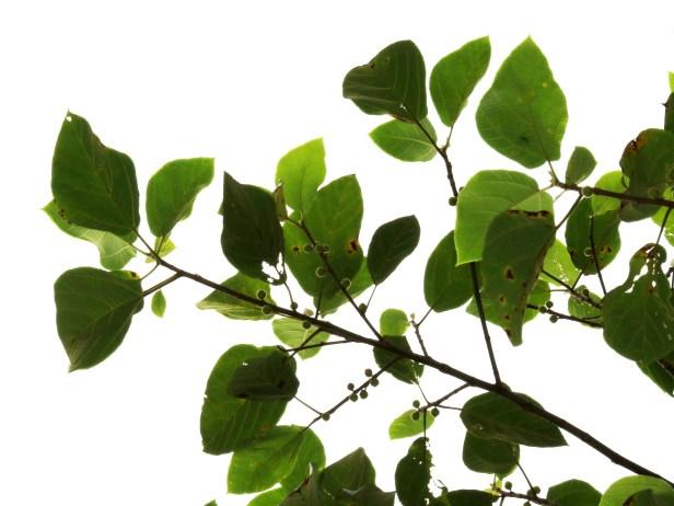 Ficus fulva 3Y3A0309.JPG