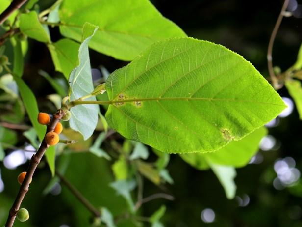 Ficus fulva 3Y3A0345.JPG