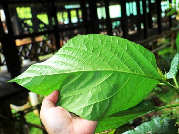 Ficus grossularioides IMG_0859.JPG