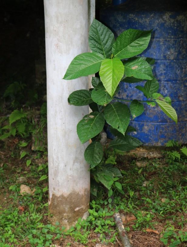 Ficus grossularioides_0844