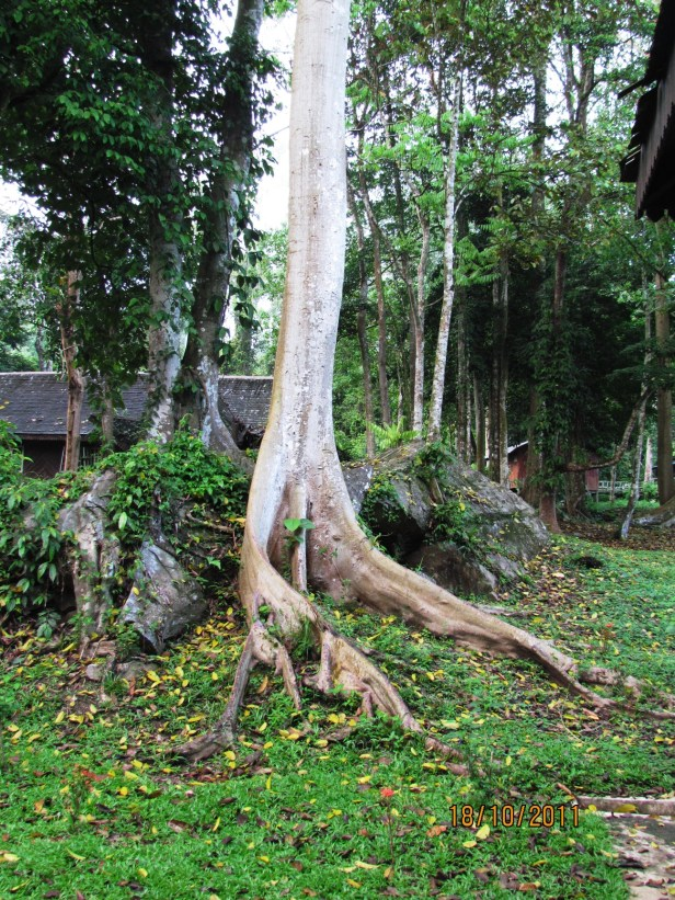 05 Tabin Ficus variegata IMG_3579.JPG