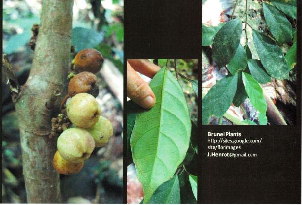 Ficus limosa Henrot Brunei