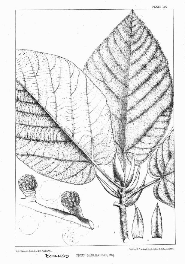 Ficus minahassae King (1887) enhanced - Copy.jpg