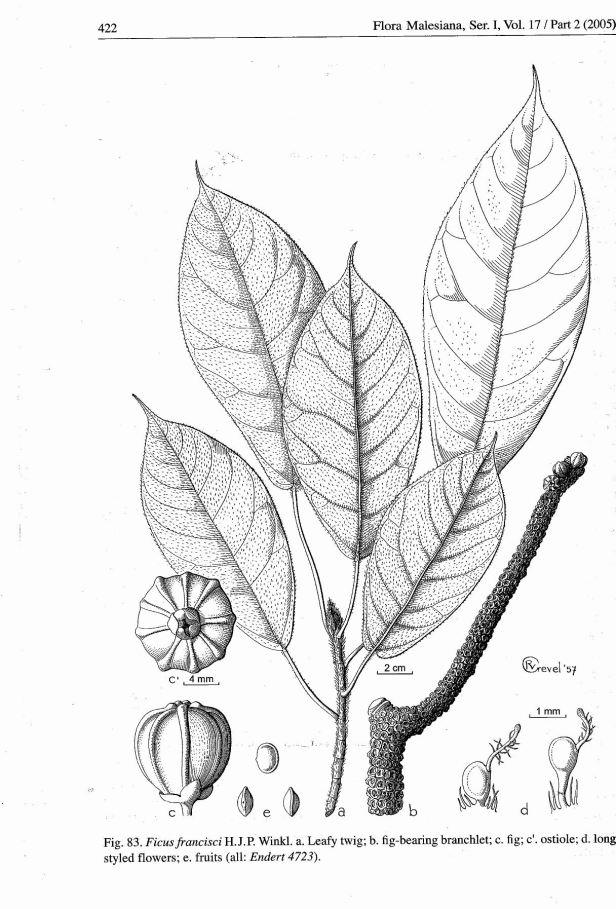 Ficus francisci