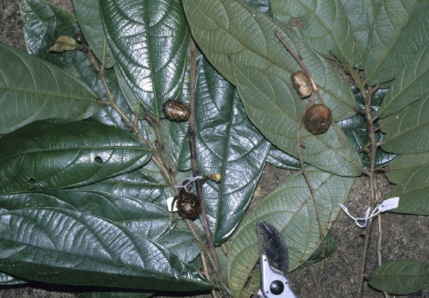 Ficus geocharis GW888_1