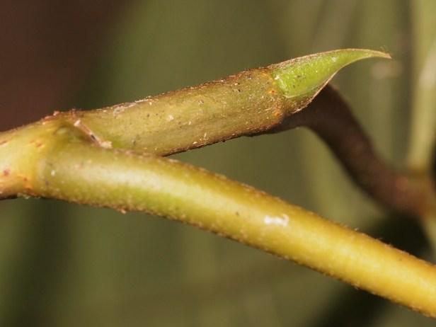 Ficus laevis 03 P2132323.JPG
