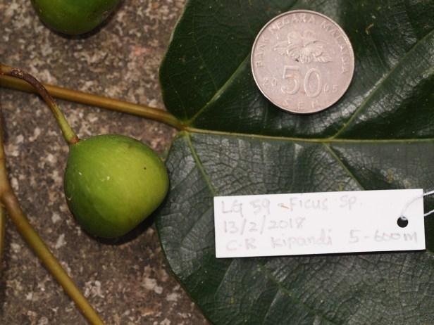 Ficus laevis  10  P2132382.JPG