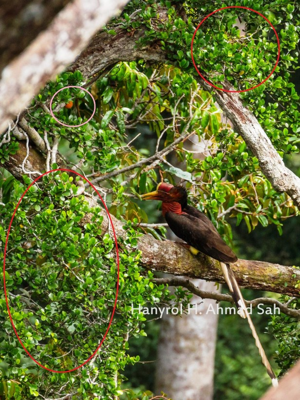 Ficus punctata and Helemted Hornbill at BCW IMG_3006 (01) -