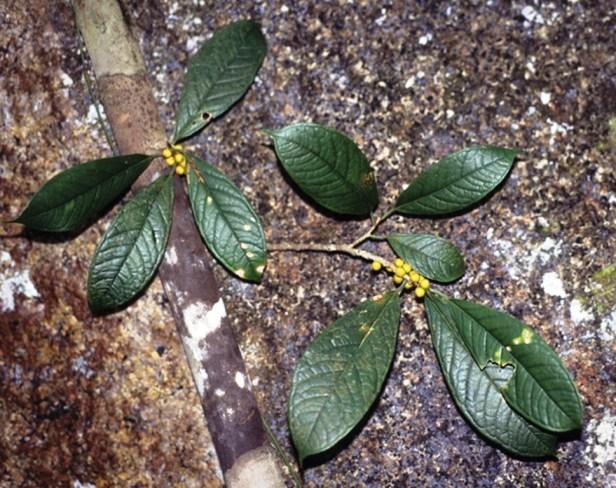 Ficus retusa Kochummeniana GW902_1 - Copy.jpg