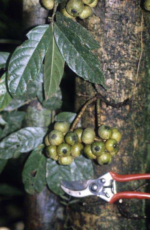Ficus rosulata GW882_1