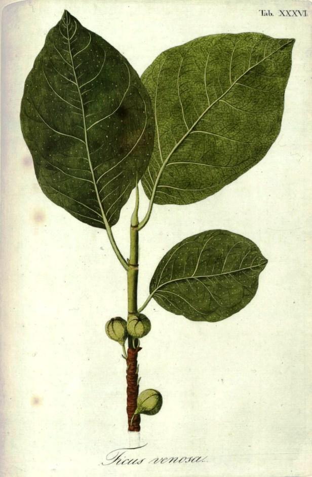Ficus septica Plant Illustrations.org312598
