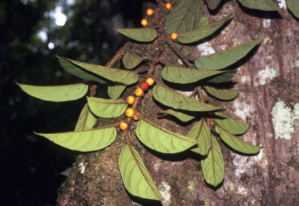 Ficus villosa GW899_2 - Copy