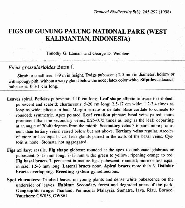 Grossularioides Gng Palung.jpg