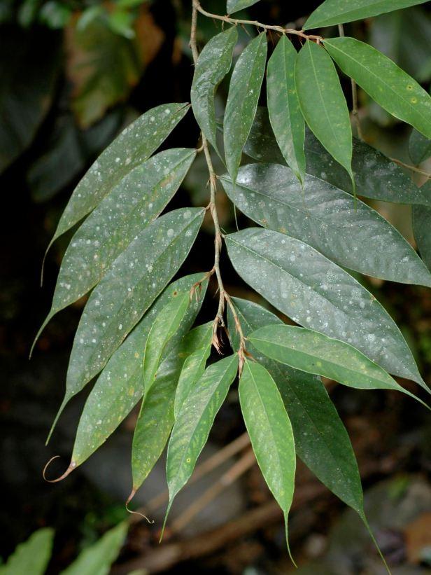 02 Ficus beccarii - 06.jpg