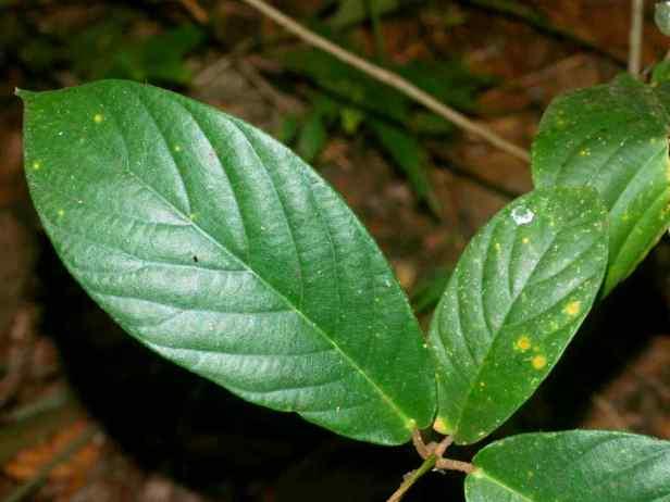 02 Ficus francisci - 2.jpg
