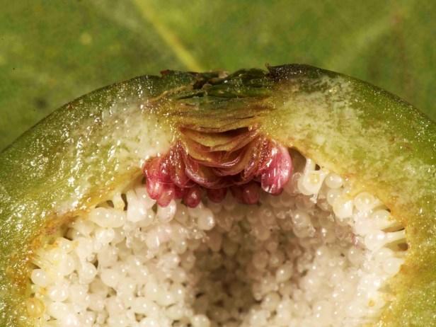 02 Ficus ixoroides - 44.jpg