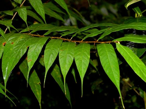 03 Ficus beccarii - 09.jpg