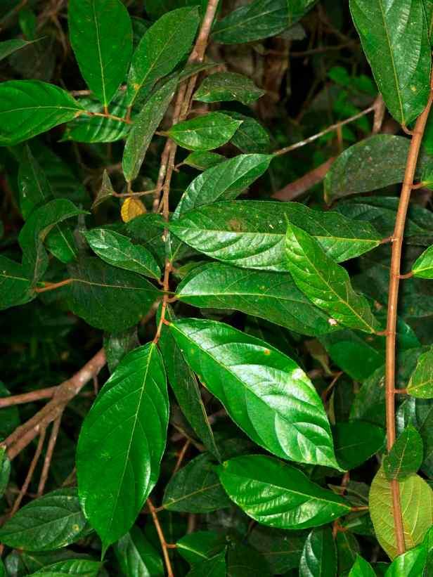 03 Sepilok Ficus stolonifera - 07.jpg