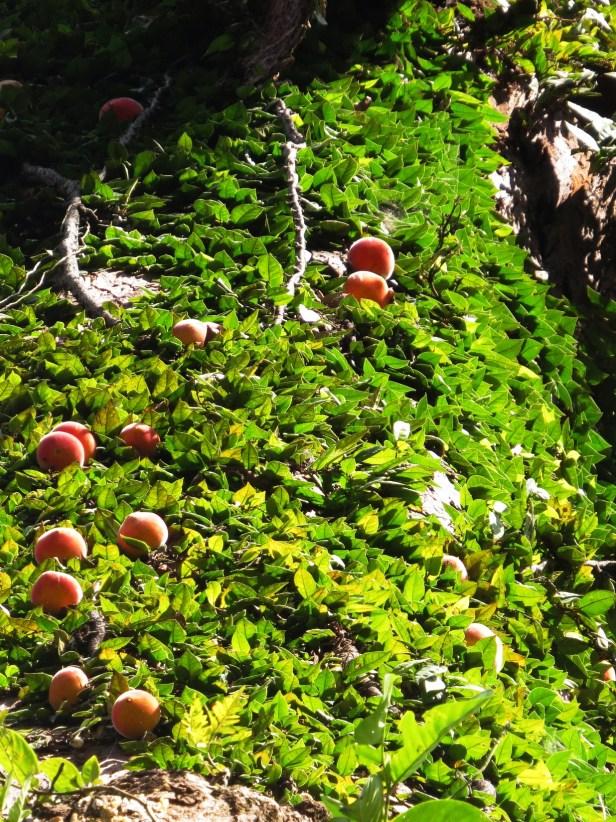 04 Ficus barba-jovis Kuamut IMG_1010