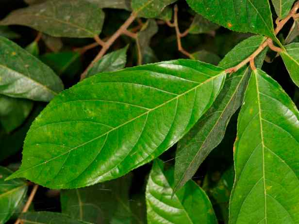 04 Sepilok Ficus stolonifera - 12.jpg